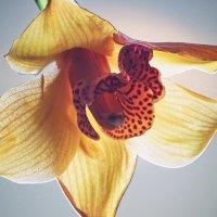 Волшебный свет орхидеи :: Ирина Приходько