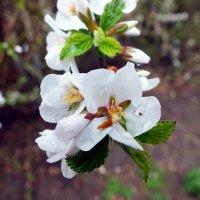 весеннее цветение :: Александр Прокудин