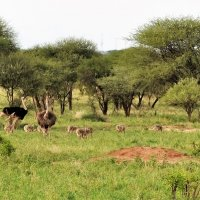 Танзания. Страусиное семейство. :: Елена Савчук