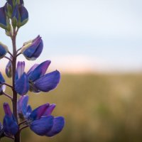 Полевой цветок :: Dmitriy Stoyanov