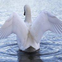 Swan :: Vitaliy Turovskyy