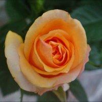Ноябрьская роза :: Нина Корешкова