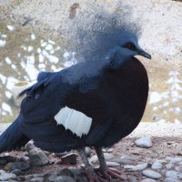 Венценосный голубь :: Антонина