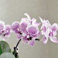 Орхидея :: Наталья И