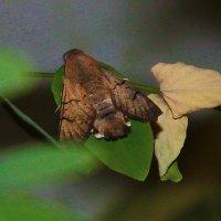 Ночная бабочка :: Светлана