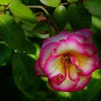 Роза кустовая :: mila