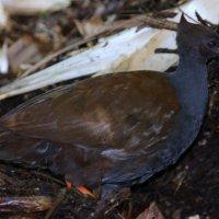 Птица-Мегапод заслуживает особого внимания :: Антонина