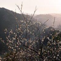 Цветение сливы в горах :: Nataliya Barinova