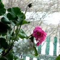 герань на окне :: Леонид Натапов