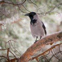 На ветке ворона :: Александр Паршев