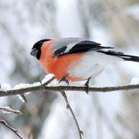 Снегирь, снегирь повернись ко мне передом к лесу задом :: Майкл