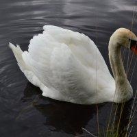 Лебедь белая плывет. :: zoja