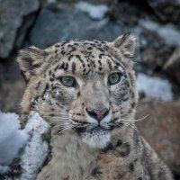Снежный барс :: Владимир Габов