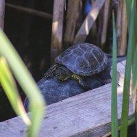 черепаха :: олег мысак