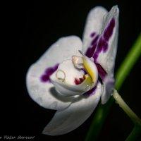 Орхидея в ночи :: Виктор М