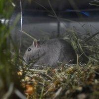 Мышь песчанка :: Татьяна Кретова
