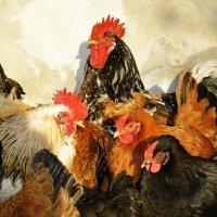Куриный кур - совет... :: Ирина Жеребятьева