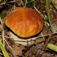 Белый гриб - Царь грибов :: Людмила Василькова