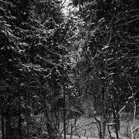 Ёлки в снегу :: Михаил Лобов (drakonmick)
