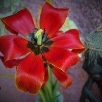 Зрелость тюльпана :: Сергей Чиняев