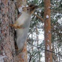 Белки в лесу. :: Мила Бовкун