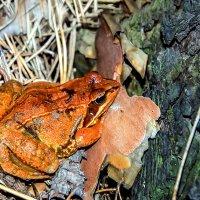 Рыжая лягушка :: Марина Корнова