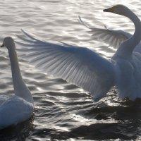 Лебединная песня :: Андрей Гл.
