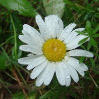 в капелльках дождя.... :: helga 2015