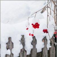Январская калина :: Андрей Арафалов