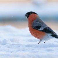 Снегирь :: Анна Солисия Голубева