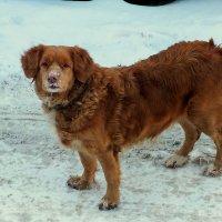 соседская собака что-то ищет в снегу :: Александр Прокудин