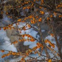 Зимняя облепиха :: Julia Martinkova