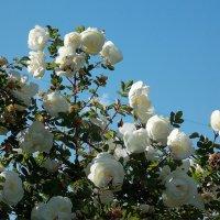Шиповник :: Фотогруппа Весна.