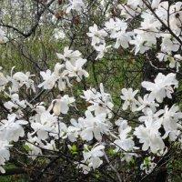 Цветёт магнолия в саду :: Дмитрий Никитин