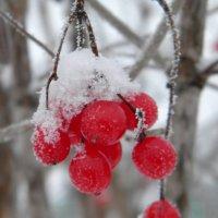 Калина красная в снегу :: Ольга