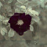 Красная роза :: Виктория