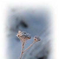 Былинки в снегу.... :: Tatiana Markova