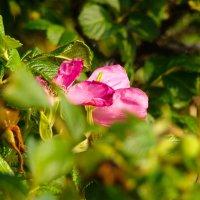Дикая роза... :: Арина