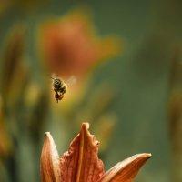 Пчёлка :: Ира Балкина