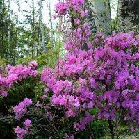 Весеннее цветение маральника :: И.В.К. ))