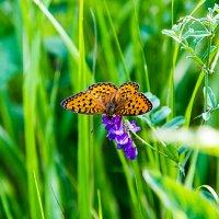 Бабочка на цветке :: Анатолий Иргл