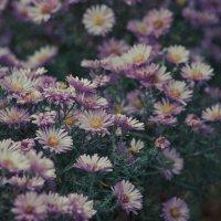 Осенние цветы :: Елена Сущая