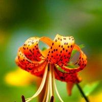 Красивый цветочек. Названия точно не знаю. :: Вячеслав Подопросветов
