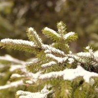 Ель под снегом :: Сергей Алексеев