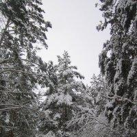 В лесу после снегопада. :: Мила Бовкун