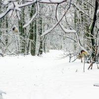 В лесу зима.. :: Юрий Стародубцев