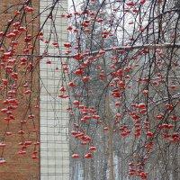 Рябинка под лёгким снежком . :: Мила Бовкун