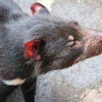 Сумчатый или тасманийский дьявол, или сумчатый чёрт :: Антонина