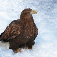 Гордая птица на белом снегу :: Александр Запылёнов