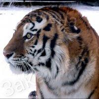 тигр устин :: Алёна Закатченко